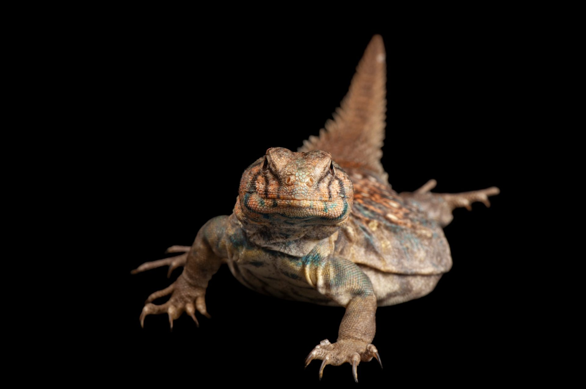An ocellated uromastyx lizard (Saara hardwickii) at the Denver Zoo.