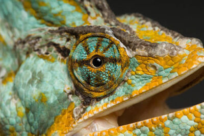 Picture of a veiled chameleon (Chamaeleo calyptratus) at the Rolling Hills Wildlife Adventure.