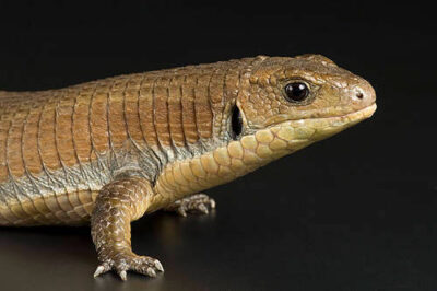 Photo: A plated lizard (Cerrhosaurus major) at Omaha's Henry Doorly Zoo.