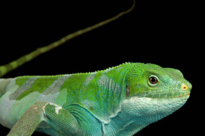 Photo: A Fiji Island banded iguana (Brachylophus fasciatus) at Omaha's Henry Doorly Zoo.