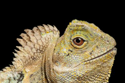 Photo: A Javan hump-headed lizard (Gonocephalus chamealeotinus) at Omaha's Henry Doorly Zoo.