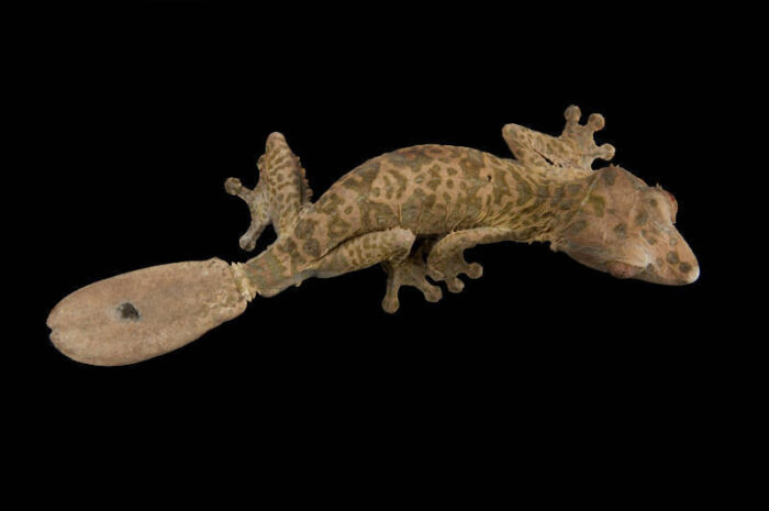 Photo: A leaf-tailed gecko (Uroplatus henkeleli) at Omaha's Henry Doorly Zoo.