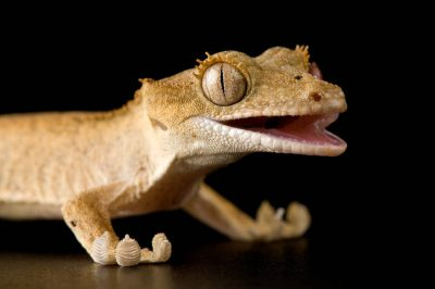Crested gecko (Rhacodactylus ciliatus) at Scaly Dave's Herp Shack.
