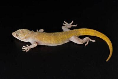 Golden gecko (Gekko badenii) at Scaly Dave's Herp Shack.