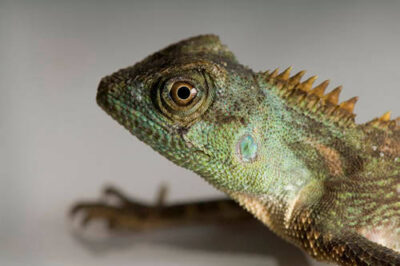 Photo: A mountain horned dragon (Acanthosaura crucigera) from the Fish N Stuff pet store in Yankton.