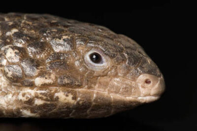 Photo: A shingle-back skink (Trachydosaurus rugosus) at Reptile Gardens.