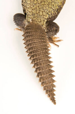 An Egyptian spiny-tailed lizard (Uromastyx aegyptia) at Reptile Gardens.