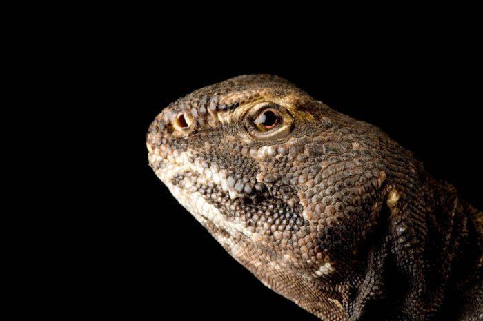 Mali spiny tailed lizard (Uromastyx dispar maliensis) at Scaly Dave's Herp Shack in Manhattan, Kansas.
