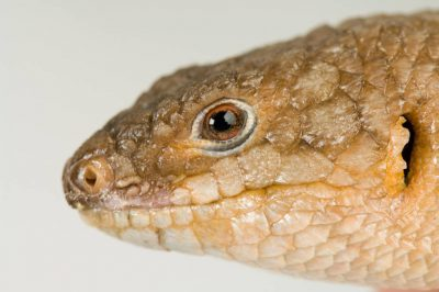 Photo: A gidgee skink (Egernia stokesii) at Reptile Gardens.