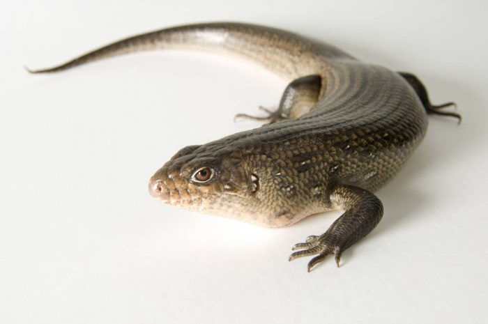 Photo: A land mullet (Egernia major) at Reptile Gardens.
