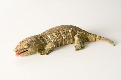 Photo: A New Caledonia giant gecko (Rhacodactylus leachianus) at Reptile Gardens.