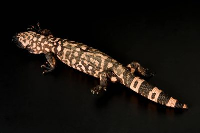 Photo: A Gila monster (Heloderma cinctum) at Reptile Gardens.