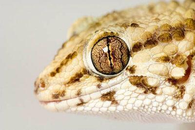 Photo: A Bibron's gecko (Pachydactylus bibroni) at Reptile Gardens.