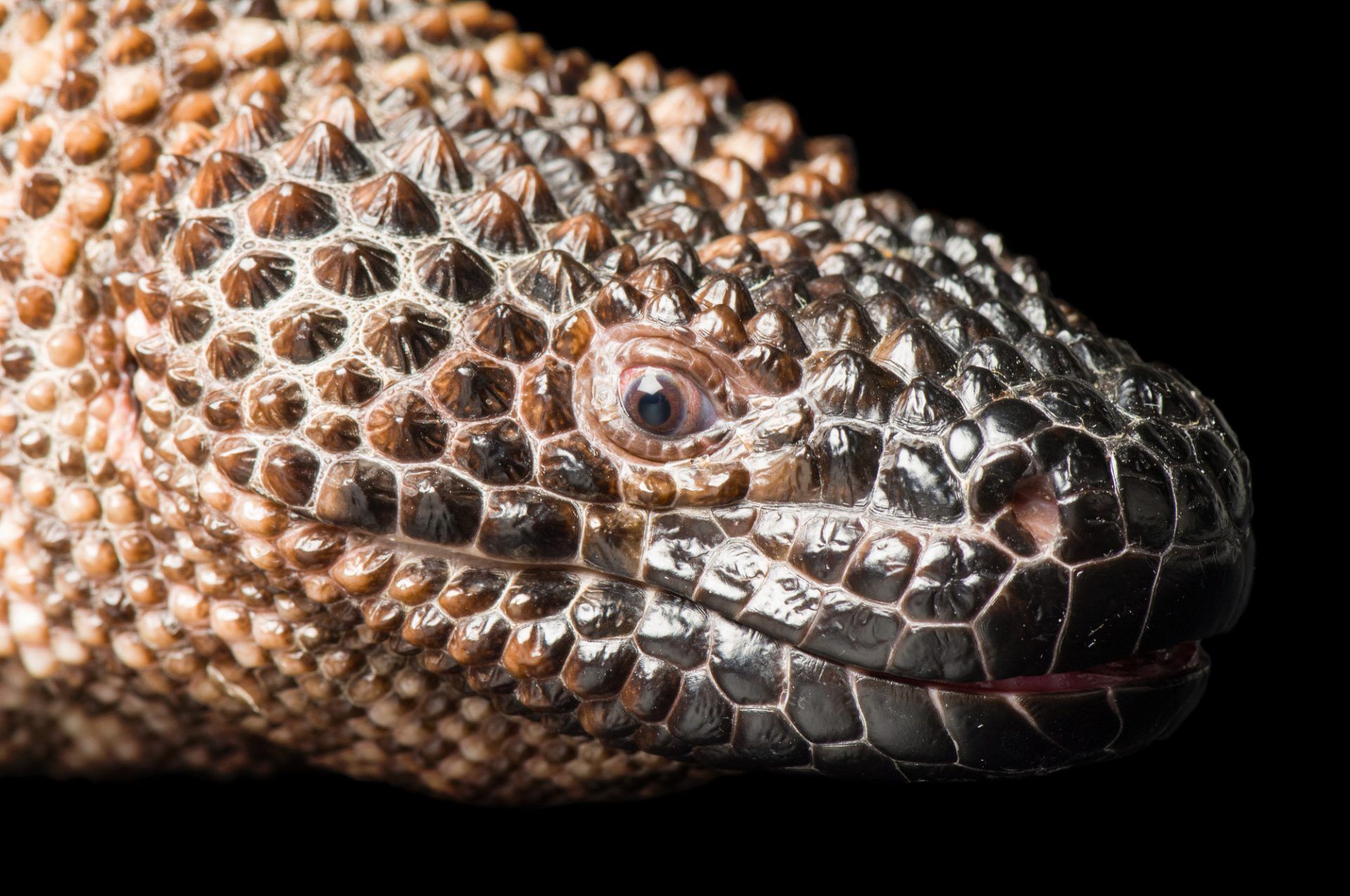 A beaded lizard (Heloderma horridum exasperatum) at Reptile Gardens.