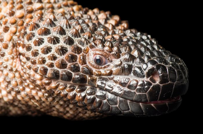 A beaded lizard (Heloderma horridum exasperatum) at Reptile Gardens.