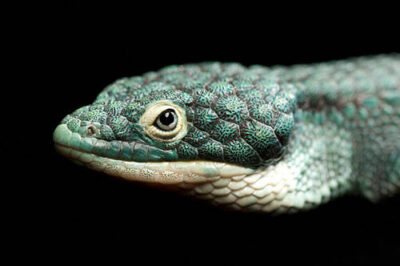An endangered Mexican alligator lizard (Abronia graminea) at the St. Louis Zoo.