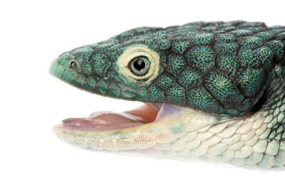 An endangered Mexican alligator lizard (Abronia graminea) at the St. Louis Zoo.