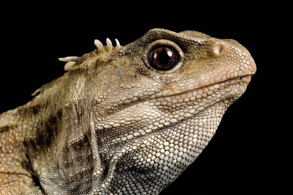 Picture of a tuatara (Sphenodon punctatus) at the St. Louis Zoo.