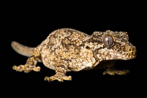 A gargoyle gecko (Rhacodactylus auriculatus) at the Omaha Zoo.