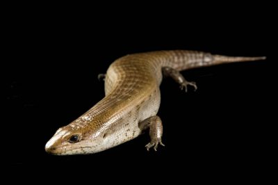 Critically endangered Haitian giant galliwasp (Celestus warreni) at the St. Louis Zoo.