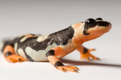 Photo: A kaiser spotted newt (Neurergus kaiseri) from Conservation Fisheries.