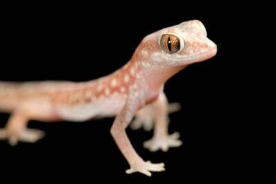 A beaded gecko (Lucasium damaeus) at Conservation Fisheries.