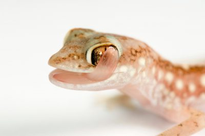A beaded gecko (Lucasium damaeus) at Conservation Fisheries.