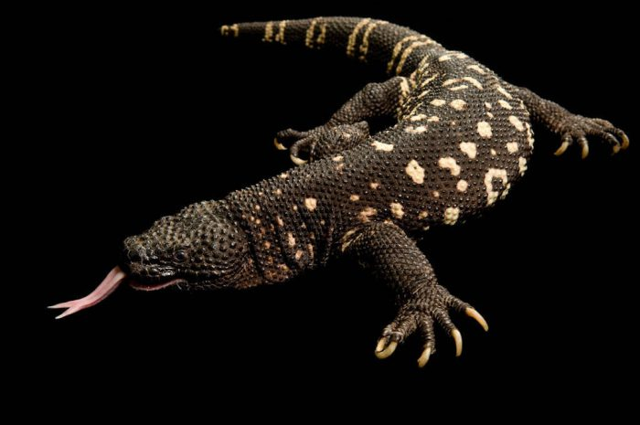 Guatemalan beaded lizard (Heloderma horridum charlesbogerti) at Zoo Atlanta. This is believed to be the rarest lizard in the world, with a possible wild population of six animals and fewer than 20 in captivity.