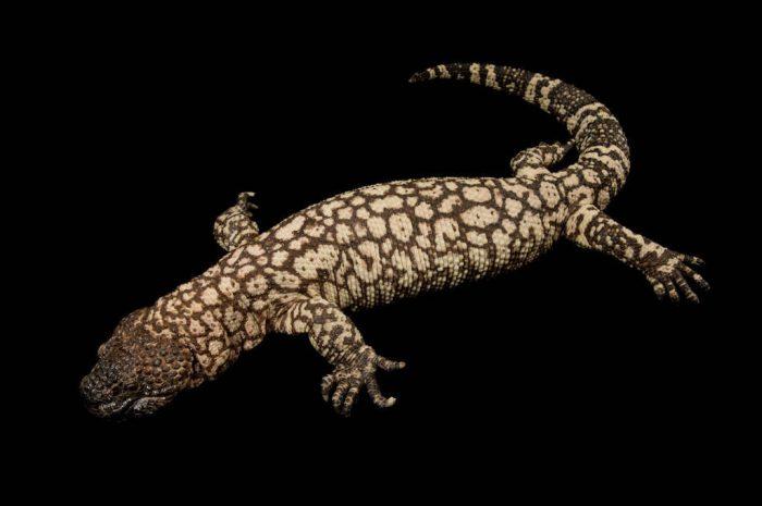 A Rio Fuertes beaded lizard (Heloderma horridum exasperatum) at Zoo Atlanta.