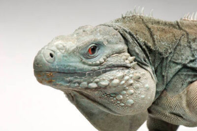 Picture of an endangered (IUCN) and federally endangered, Grand Cayman blue iguana (Cyclura lewisi) at the Sedgwick County Zoo in Wichita, Kansas.