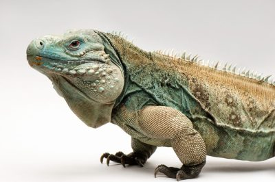 Picture of an endangered (IUCN) and federally endangered Grand Cayman blue iguana (Cyclura lewisi) at the Sedgwick County Zoo in Wichita, Kansas.