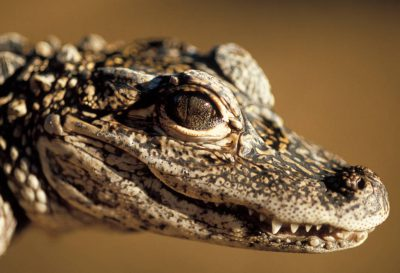 Photo: A Chinese or Yangtze alligator, captive at the Houston Zoo.