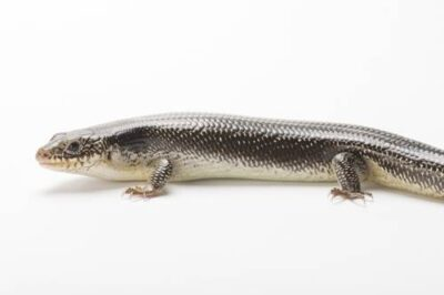 Photo: A Great Plains skink (Plestiodon obsoletus) collected in Jefferson County, Nebraska.