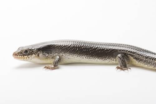 Photo: A Great Plains skink (Plestiodon obsoletus) collected in Jefferson County, Nebraska.