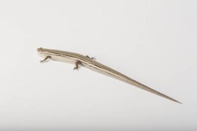 Photo: A northern prairie skink (Plestiodon septentrionalis) collected in Jefferson County, Nebraska.