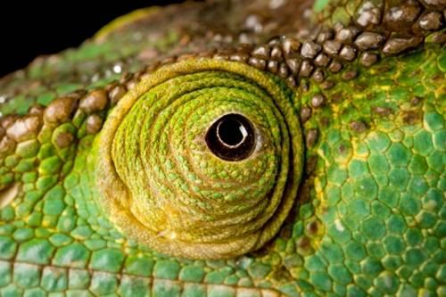 A Parson's chameleon (Calumma parsonii) at the Houston Zoo.