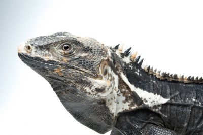 A Mexican spiny-tail iguana (Ctenosaura pectinata), at the Chapultepec Zoo, Mexico City, Mexico.