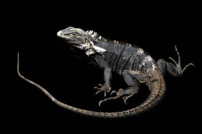 A Mexican spiny-tail iguana (Ctenosaura pectinata), at the Chapultepec Zoo, Mexico City, Mexico.
