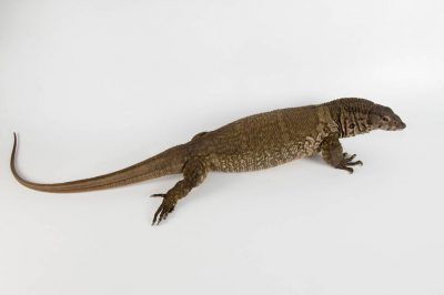 Picture of a Dumeril's monitor (Varanus dumerilii) at the Lincoln Children's Zoo, Lincoln, Nebraska.