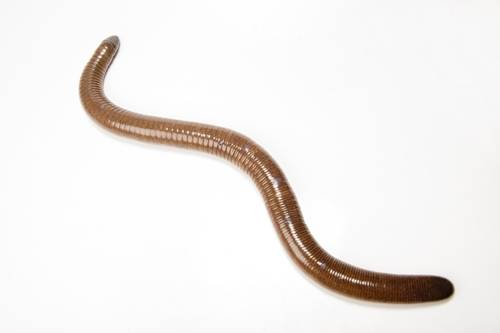 A vulnerable Mexican caecilian (Dermophis mexicanus) at the Tennessee Aquarium.