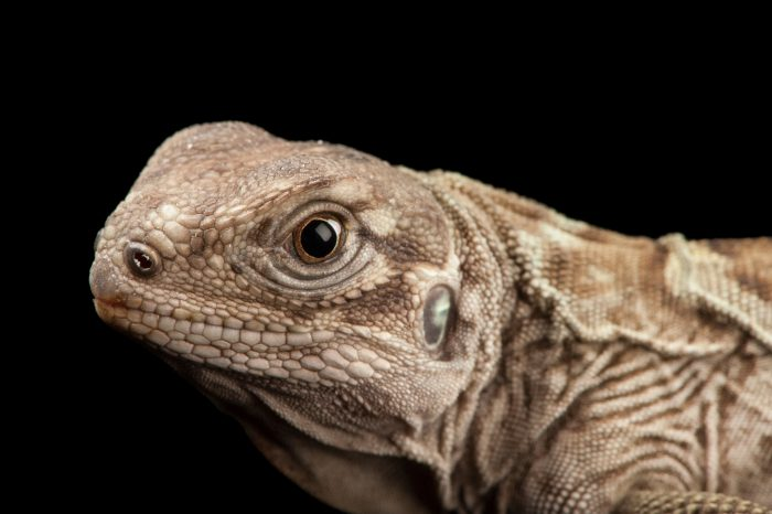 A critically endangered (IUCN) and federally endangered Anegada ground iguana (cyclura pinguis) at the Fort Worth Zoo.