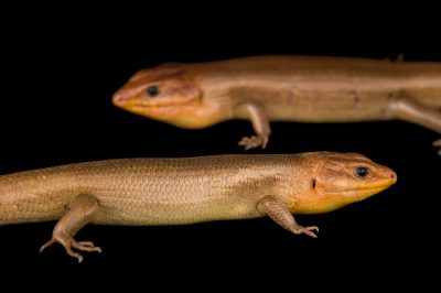 Picture of broad-headed skinks (Plestiodon laticeps) at the National Mississippi River Museum and Aquarium in Dubuque, Iowa.