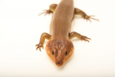 Picture of a broad-headed skink (Plestiodon laticeps) at the National Mississippi River Museum and Aquarium in Dubuque, Iowa.