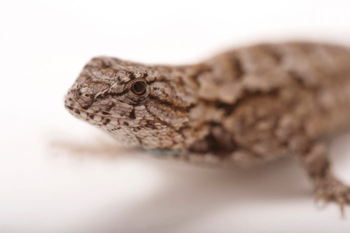 Picture of an Eastern fence lizard (Sceloporus undulatus) at the Lowry Park Zoo in Tampa, Florida.