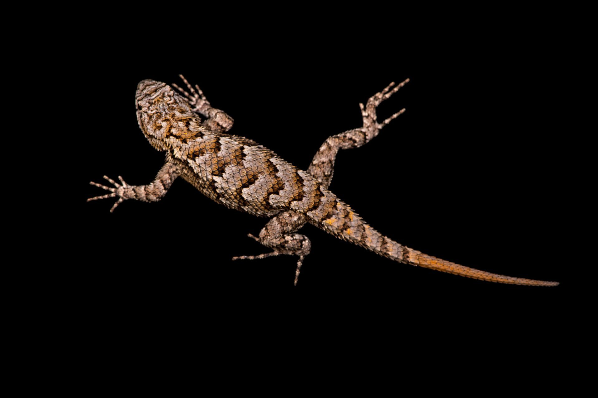 Picture of an Eastern fence lizard (Sceloporus undulatus) at the Lowry Park Zoo in Tampa, FL.