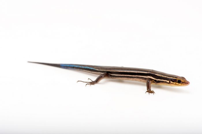 Picture of a Southeastern five-lined skink (Plestiodon inexpectatus) at the Lowry Park Zoo in Tampa, Florida.