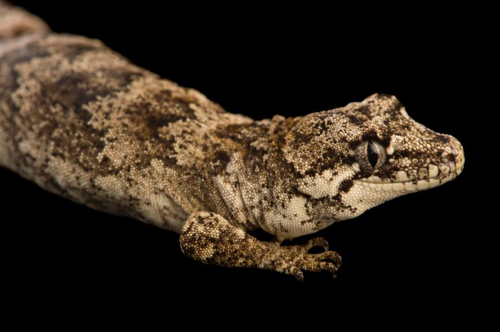 Picture of a forest gecko (Hoplodactylus granulatus) at the Auckland Zoo.