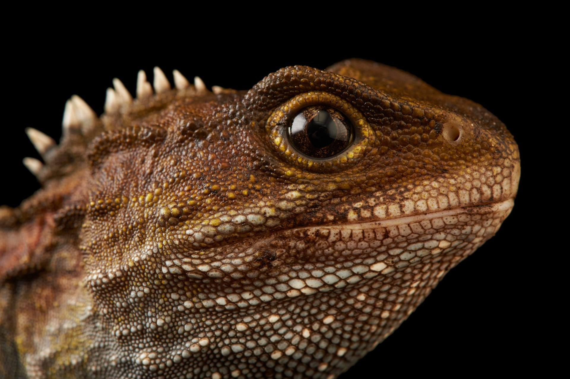 Picture of a tuatara (Sphenodon punctatus) at the Wellington Zoo.