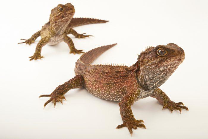Picture of tuataras (Sphenodon punctatus) at the Wellington Zoo.