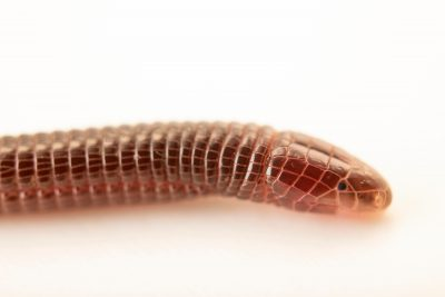 Photo: Iberian worm lizard (Blanus cinereus) at Graham's Quinta dos Malvedos Vineyard.